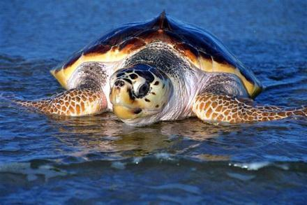 Sea turtles - at 'loggerheads' with global warming - maltatoday.com.mt | All about water, the oceans, environmental issues | Scoop.it