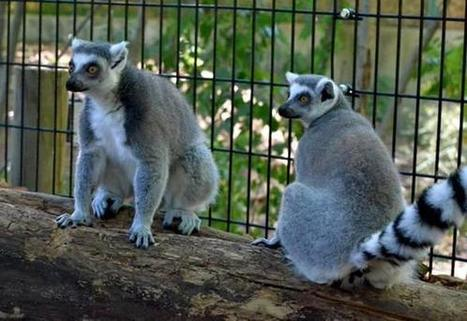 Lemur Lane At The Maryland Zoo Now Home To 2 Ring-Tailed Lemurs - CBS Local | Ring Tailed Lemurs | Scoop.it
