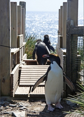 #Electronic #tags provide 10 years worth of #Penguin data #BAS | Rescue our Ocean's & it's species from Man's Pollution! | Scoop.it
