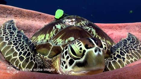 Green Turtle has had enough of Xmas | Michel Braunstein Underwater Photography News | Scoop.it