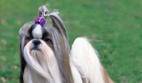 Shih Tzu Dog Breed Information | Why Shih Tzus  make the best pets | Scoop.it