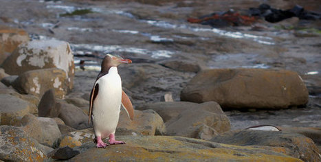 Fishing Nets, Climate Change Threaten Yellow-Eyed Penguins in New Zealand | Extinction Countdown, Scientific American Blog Network | The Wild Planet | Scoop.it