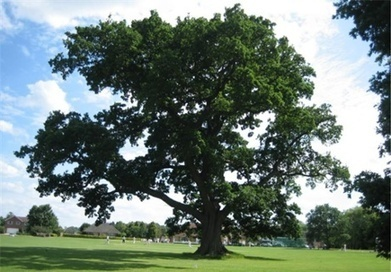 England's top 10 trees shortlisted for 'tree of the year' - The Guardian | Trees and Woodlands | Scoop.it