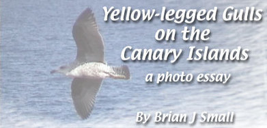 Surfbirds.com -Yellow-legged Gulls on the Canary Islands   Bird ID   Scoop.it