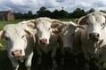 Agriculture: c'est la crise pour les éleveurs de Charolais - France Bleu | L'œil de Dijon Céréales | Scoop.it