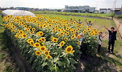 [Eng] le projet d'absoption du césium par le tournesol autour du Japon | The Mainichi Daily News | Japon : séisme, tsunami & conséquences | Scoop.it