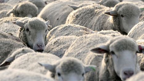 Cape Breton farmer produces sheep cheese - Nova Scotia - CBC News   Food issues   Scoop.it