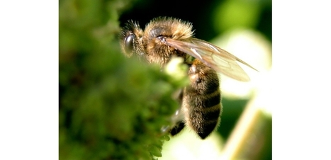 Cri d'alarme pour l'abeille noire, l'abeille de l'ouest européen | abeille noire | Scoop.it