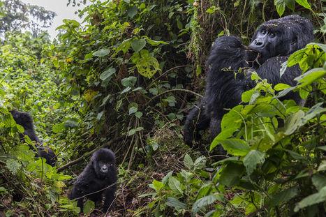 L'électricité au secours des derniers gorilles de montagne | Géopolitique de l'Afrique | Scoop.it