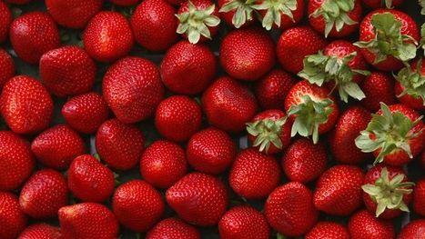 Des cultures de fraise traitées à l'aide d'insecticides non autorisés en France   Sécurité sanitaire des aliments   Scoop.it