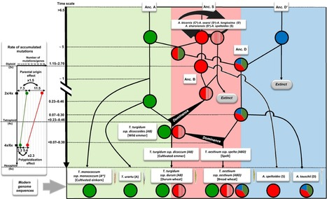 Reconciling the evolutionary origin of bread wheat (Triticum aestivum)   MycorWeb Plant-Microbe Interactions   Scoop.it