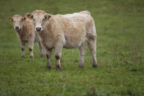 EU Proposes Ban on Cloning Farm Animals, Sale of Clone Meat   Current Topics in Woodall's ELA Class   Scoop.it