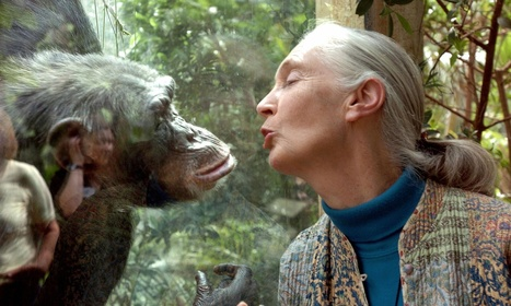 Jane Goodall: why I fear for the apes as climate change intensifies | Sustain Our Earth | Scoop.it