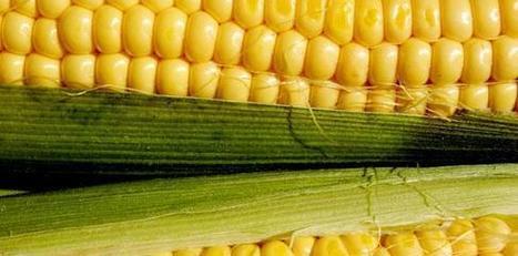 En 2012, l'Union européenne a approuvé l'importation du maïs OGM MIR 162 | L'état et l'individu | Scoop.it
