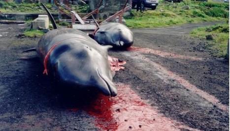 Dauphins abattus aux îles Féroé : chaque été, c'est pareil. Cessons ce massacre archaïque   Chronique d'un pays où il ne se passe rien... ou presque !   Scoop.it