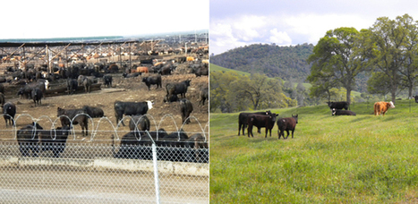 So You Want To Eat Meat? Feedlots vs. Pastures | YOUR FOOD, YOUR HEALTH: #Biotech #GMOs #Pesticides #Chemicals #FactoryFarms #CAFOs #BigFood | Scoop.it