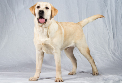 Labrador Retriever Page | Three Things | Scoop.it