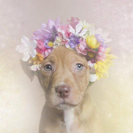 Dreamy Portraits of Flower Wreath-Wearing Pit Bulls Challenge the Stereotypes Surrounding the Breed | xposing world of Photography & Design | Scoop.it