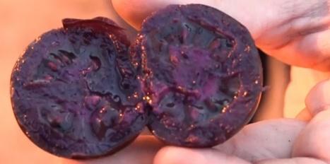 Une tomate OGM violette, pour quoi faire ? - Sciences et Avenir | Les aliments et leurs vertus | Scoop.it