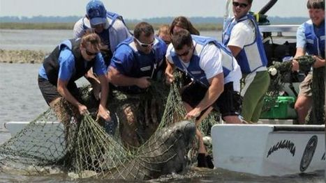 #Algae bloom kills record number of #manatees  !!!  ~  WDAM-TV | Rescue our Ocean's & it's species from Man's Pollution! | Scoop.it