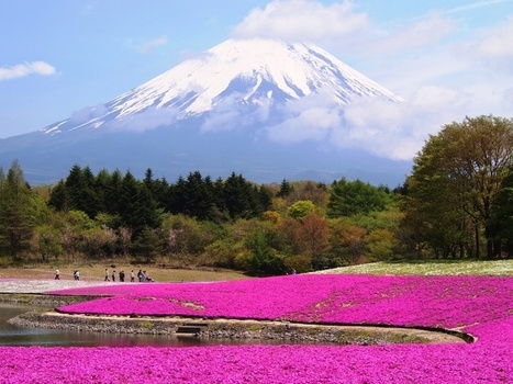 "Mt. Fuji ""Shibazakura"" FlowerFestival   The Blog's Revue by OlivierSC   Scoop.it"