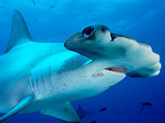 SCUBA SCOOP/latest dive stories: Why hammerhead sharks have such funny heads | All about water, the oceans, environmental issues | Scoop.it