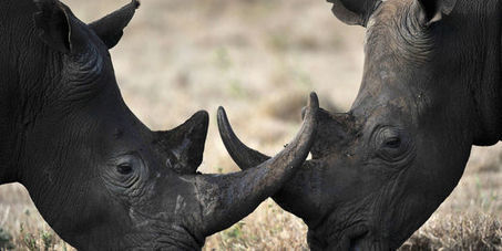 Le nombre de rhinocéros tués en Afrique du Sud encore en hausse