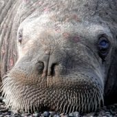 Alleged Round Island walrus poachers charged by feds | Wildlife Trafficking: Who Does it? Allows it? | Scoop.it