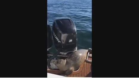 VIDEO. Un phoque chassé par des orques se réfugie sur un bateau de plaisance | Biodiversité | Scoop.it