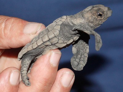First Ever Map of Floating Plastic Aims to Save Baby Sea Turtles   OUR OCEANS NEED US   Scoop.it