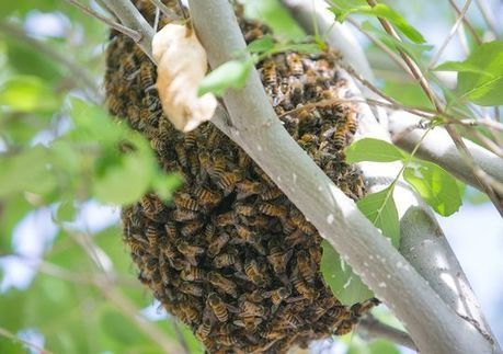 The buzz on saving bees as populations dwindle | Arizona Republic | CALS in the News | Scoop.it