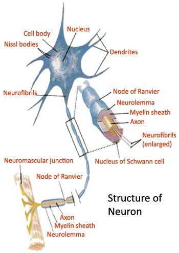 What is the Structure of Neurons? | Anatomy | Scoop.it