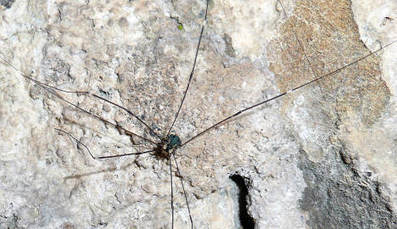 Daddy longlegs invading Germany | No Such Thing As The News | Scoop.it