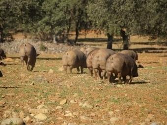 Certifican la pureza racial del porcino ibérico gracias a la genética molecular | Mejora genetica | Scoop.it