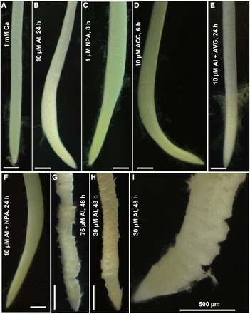Plant physiol: Identification of the Primary Lesion of Toxic Aluminum in Plant Roots | Science Tools | Scoop.it