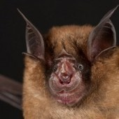 Chinese Bats May Be Carrying the Next SARS Pandemic - Wired Science | Sustain Our Earth | Scoop.it