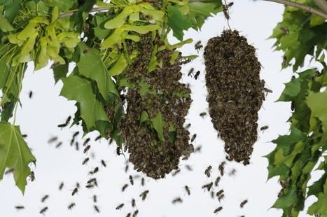 Sauver plus d'abeilles sauvages pour sauver nos récoltes | animaux | Scoop.it