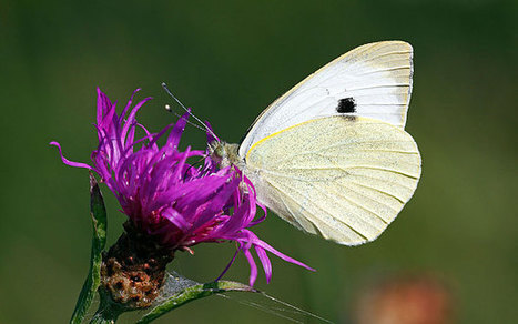 Cabbage White Butterfly Holds Secret to Better Solar Panels | Biomimicry | Scoop.it
