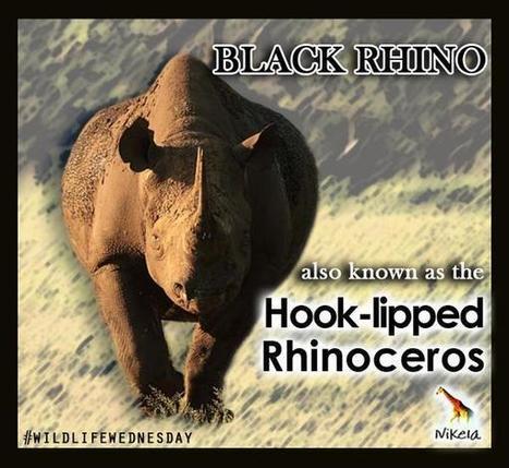 Nikela on Twitter - Black Rhino #WildlifeWednesday | What's Happening to Africa's Rhino? | Scoop.it