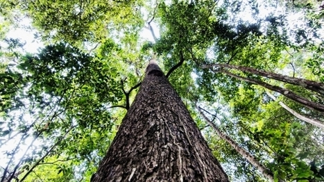 These Are The Amazon Trees That Help Keep The Planet Cool   GarryRogers Biosphere News   Scoop.it