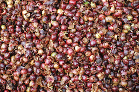 What is Cascara? | Tea and Coffee | Scoop.it