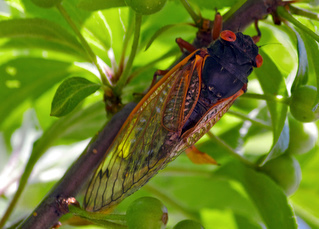 Cicada Invasion Becomes Frozen Treat (June Bugs Next?) - Planet Green | @FoodMeditations Time | Scoop.it