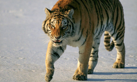 China reports rise in humans encountering wild Siberian tigers | Poaching | Scoop.it