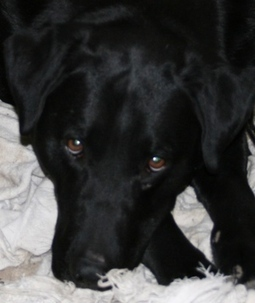 Why Do Black Labs Make Great Pets? | Visual*~*Revolution | Scoop.it