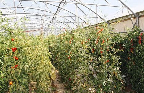 Mejora CIQA tomate cherry, pepino y chiles con método sustentable - Vanguardia.com.mx   COMO ES EL TEMA DE LA SUSTENTABILIDAD   Scoop.it