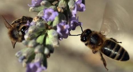 La acupuntura con picadura de abejas es cada vez más popular en ... - lagranepoca | Apicultura Investigación | Scoop.it