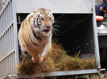 Une tigresse de l'Amour remise en liberté dans l'Extrême-Orient russe - notre-planete.info | Histoire8 | Scoop.it