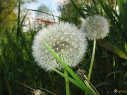 Mauvaises Herbes, on vous aime   Veille Scientifique Agroalimentaire - Agronomie   Scoop.it