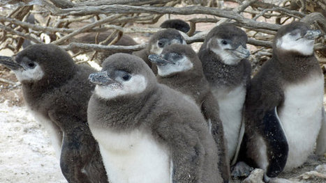 For Already Vulnerable Penguins, Study Finds Climate Change Is Another Danger - New York Times   Climate change   Scoop.it