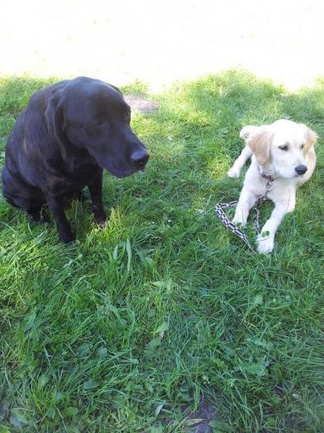 Twitter / LucienGolden: #GoldenRetriever école du ... | Educateur canin en Alsace - Etoile des bergers | Scoop.it